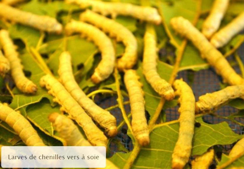 Larves de chenilles de vers à soie