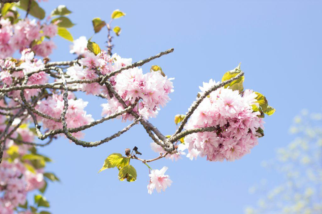 pink flowering tree